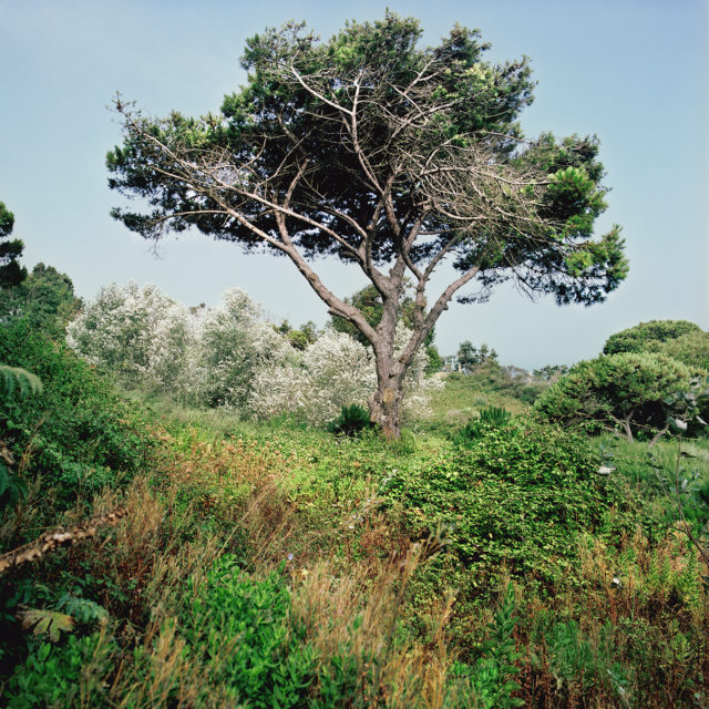 Pine of Alep, Tangier, july 2011